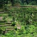 Indonésie – Bali – Rizières