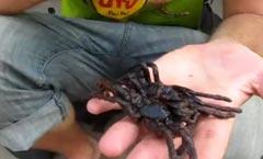 Manger une araignée grillée !